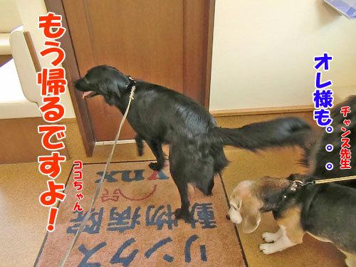 チャンスとティアラ+ココ-20130530-5-500.jpg