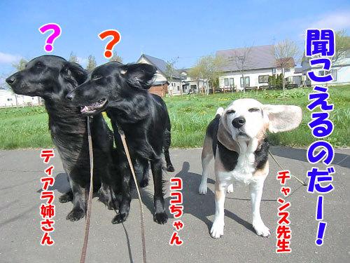 チャンスとティアラ+ココ-20130531-1-500.jpg