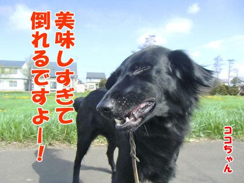 チャンスとティアラ+ココ-20130531-8-500.jpg