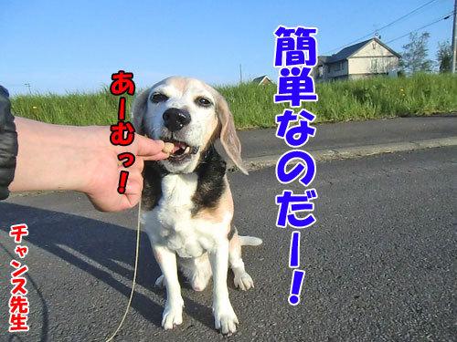 チャンスとティアラ+ココ-20130601-1-500.jpg