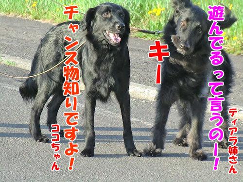 チャンスとティアラ+ココ-20130601-6-500.jpg
