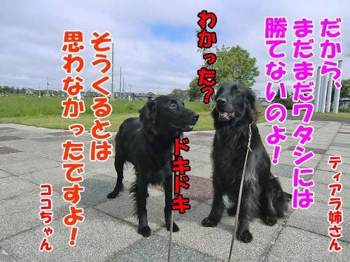 チャンスとティアラ+ココ-20130612-3-500.jpg