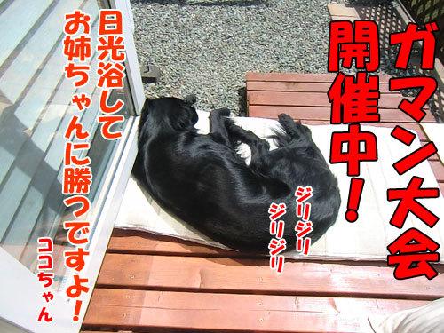 チャンスとティアラ+ココ-20130612-4-500.jpg