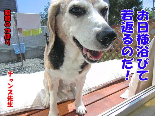 チャンスとティアラ+ココ-20130612-5-500.jpg