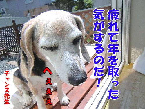 チャンスとティアラ+ココ-20130612-7-500.jpg