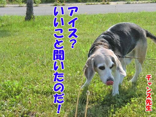 チャンスとティアラ+ココ-20130614-3-500.jpg