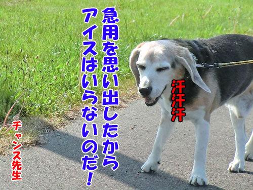 チャンスとティアラ+ココ-20130614-5-500.jpg