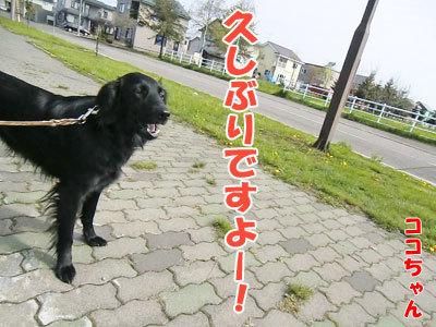 チャンスとティアラ+ココ-20120516-1-400.jpg