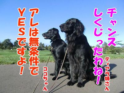 チャンスとティアラ+ココ-20121010-4-400.jpg