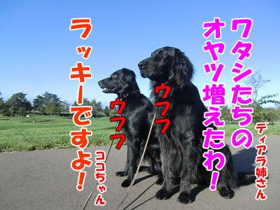 チャンスとティアラ+ココ-20121010-5-400.jpg