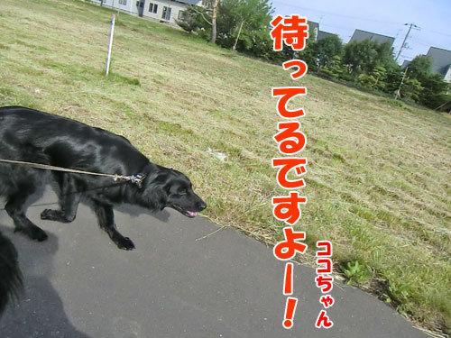 チャンスとティアラ+ココ-20130617-1-500.jpg