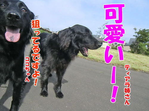 チャンスとティアラ+ココ-20130617-3-500.jpg