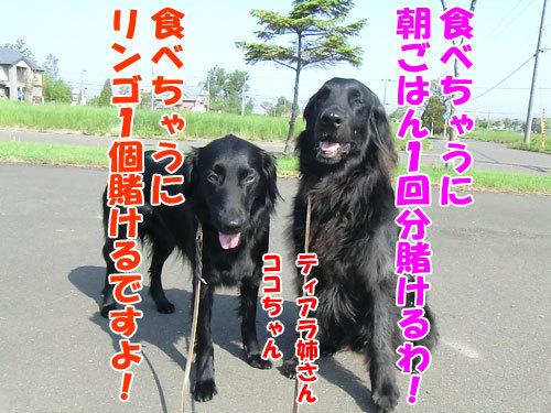 チャンスとティアラ+ココ-20130618-4-500.jpg