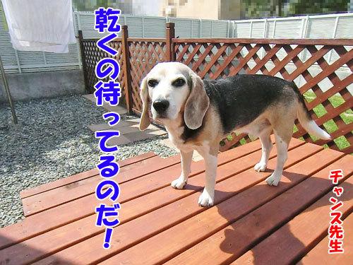 チャンスとティアラ+ココ-20130619-1-500.jpg