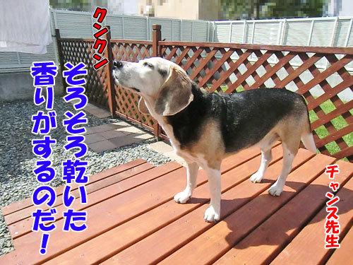 チャンスとティアラ+ココ-20130619-3-500.jpg