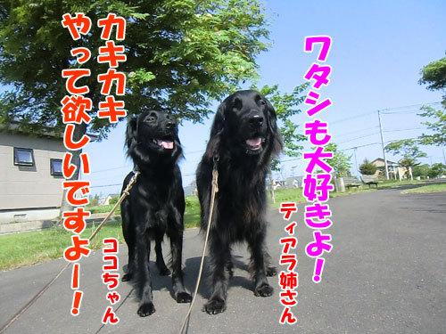 チャンスとティアラ+ココ-20130619-7-500.jpg
