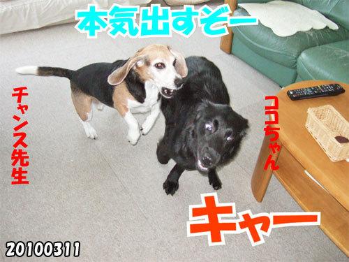 チャンスとティアラ+ココ-20130620-2.jpg