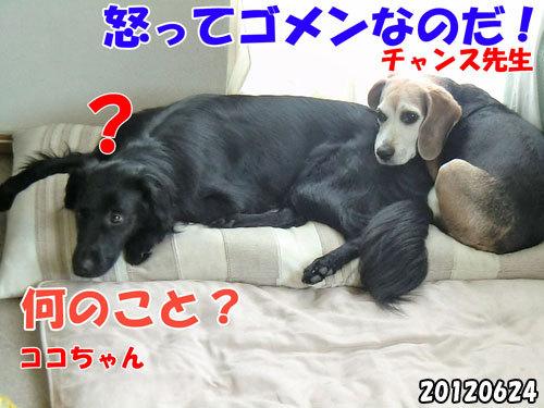 チャンスとティアラ+ココ-20130620-8.jpg