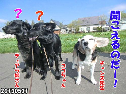 チャンスとティアラ+ココ-20130620-17.jpg