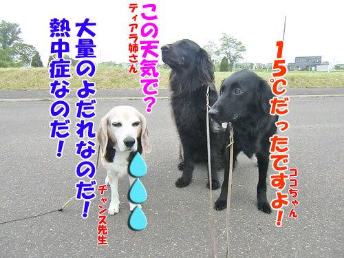 チャンスとティアラ+ココ-20130620netu-1.jpg