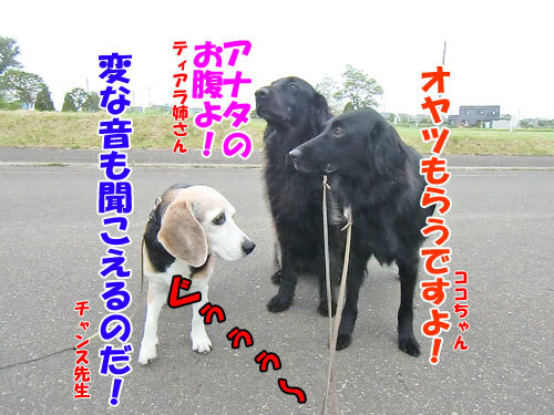 チャンスとティアラ+ココ-20130620netu-2.jpg