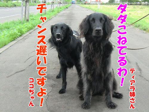 チャンスとティアラ+ココ-20130621-6-500.jpg