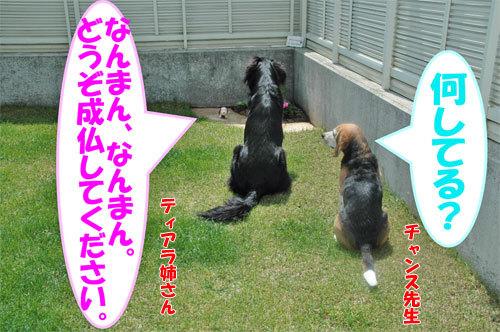 チャンスとティアラ+ココ-20090709-2.jpg