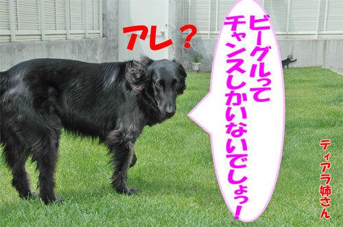 チャンスとティアラ+ココ-20090709-5.jpg