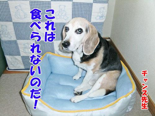 チャンスとティアラ+ココ-20130624-3-500.jpg