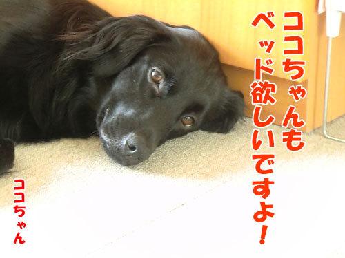 チャンスとティアラ+ココ-20130624-5-500.jpg