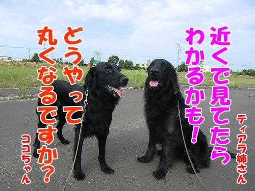 チャンスとティアラ+ココ-20130625-3-500.jpg
