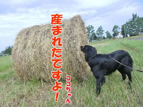 チャンスとティアラ+ココ-20130625-5-500.jpg
