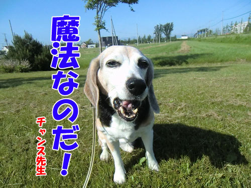 チャンスとティアラ+ココ-20130625-7-500.jpg