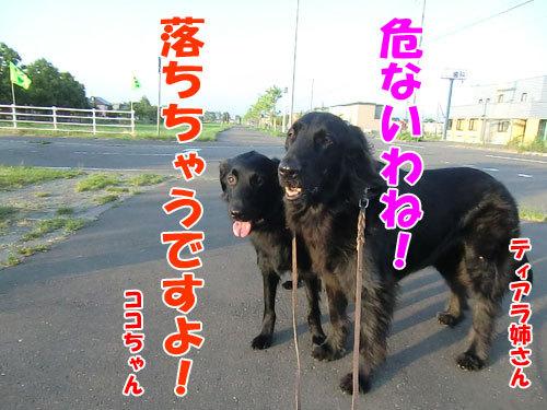 チャンスとティアラ+ココ-20130626-1-500.jpg
