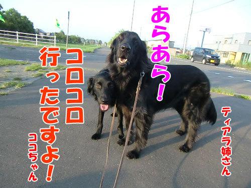チャンスとティアラ+ココ-20130626-5-500.jpg
