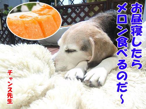 チャンスとティアラ+ココ-20130627-1-500.jpg