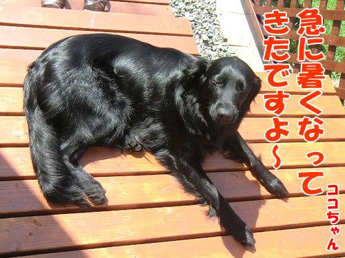 チャンスとティアラ+ココ-20130627-3-500.jpg