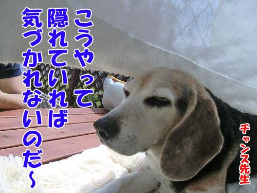 チャンスとティアラ+ココ-20130627-5-500.jpg