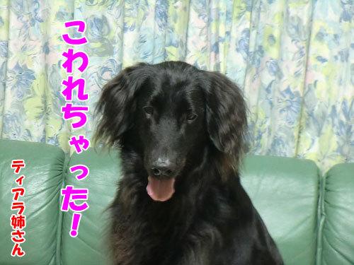 チャンスとティアラ+ココ-20130628-5-500.jpg