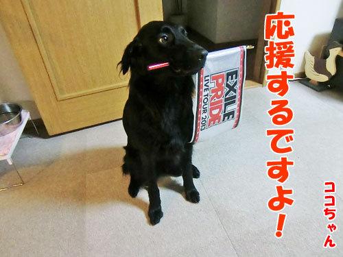 チャンスとティアラ+ココ-20130628-9-500.jpg