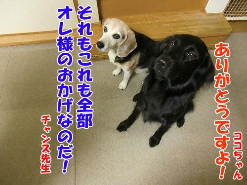チャンスとティアラ+ココ-20130628-11-500.jpg