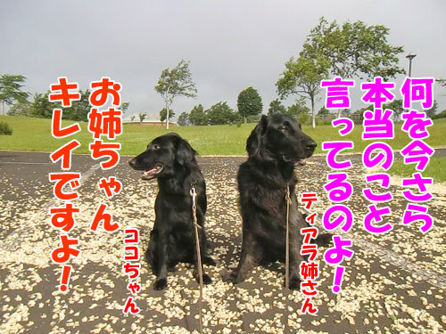 チャンスとティアラ+ココ-20130702-1-500.jpg