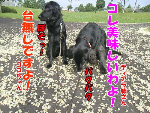 チャンスとティアラ+ココ-20130702-2-500.jpg