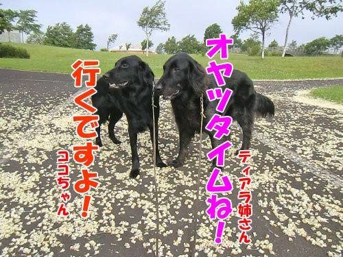 チャンスとティアラ+ココ-20130702-3-500.jpg
