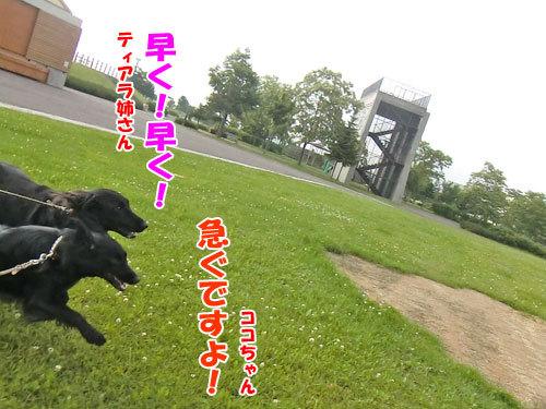 チャンスとティアラ+ココ-20130702-5-500.jpg