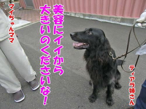 チャンスとティアラ+ココ-20130703-2-500.jpg