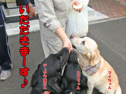 チャンスとティアラ+ココ-20130703-4-500.jpg