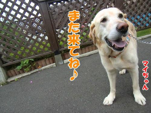 チャンスとティアラ+ココ-20130703-5-500.jpg