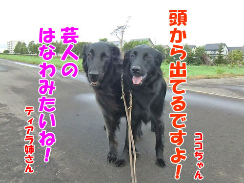 チャンスとティアラ+ココ-20130705-3-500.jpg