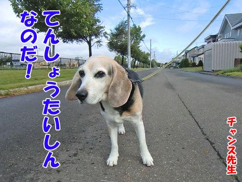 チャンスとティアラ+ココ-20130705-5-500.jpg